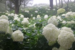 170704 (104)霧のアナベル.jpg