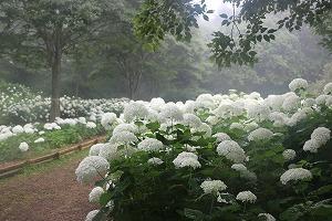 170704 (107)霧のアナベル.jpg