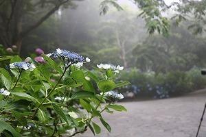 170704 (73)霧のあじさい坂.jpg