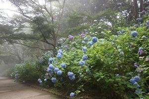 170704 (76)霧のあじさい坂.jpg