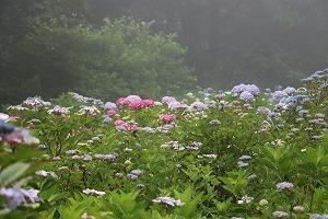 170704 (92)霧の西洋あじさい園.jpg