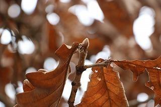 s-180216 (12)カシワ葉と冬芽.jpg