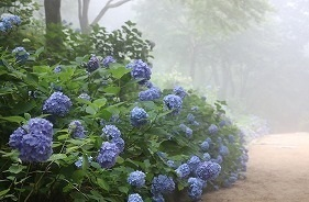 170704 (70)霧のあじさい坂.jpg
