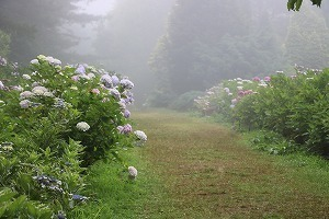 170704 (91)霧の西洋あじさい園.jpg