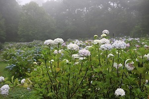 170704 (95)霧の西洋あじさい園.jpg