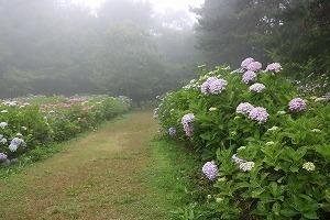 170704 (96)霧の西洋あじさい園.jpg