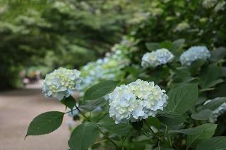 180619 (3)ヒメアジサイあじさい坂.jpg