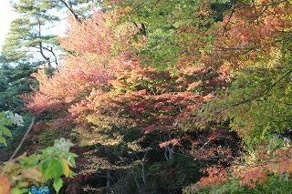 s-171102 (11)長谷池イロハモミジ ハナノキ紅葉.jpg