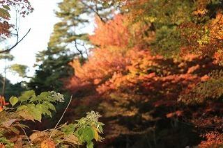 s-171102 (14)長谷池イロハモミジ ハナノキ紅葉.jpg