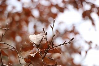 s-180216 (11)ヤマコウバシ葉と冬芽.jpg
