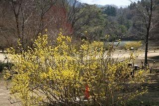 s-180329 (38)チョウセンレンギョウ長谷池.jpg