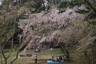 s-180402ソメイヨシノさくら園 (5).jpg