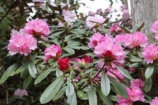 s-180405アズマシャクナゲしゃくなげ園 (4).jpg